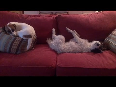 Jack Russell Terriers' backyard fun!