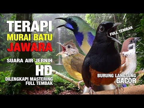TERAPI MURAI BATU JAWARA + Suara Hujan HD [ Cucak Cungkok | Cucak Jenggot | Burung Gereja ]