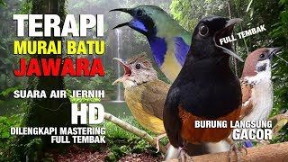 Download lagu TERAPI MURAI BATU JAWARA Suara Hujan HD MP3