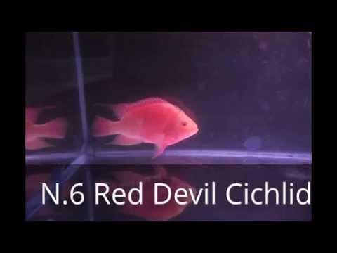 10 Most Aggressive Aquarium Fish