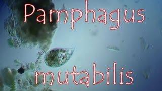 pamphagus mutabilis 2