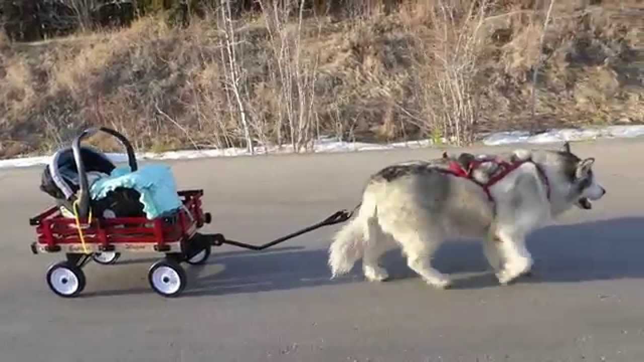 Cat Pulling Wagon : Chloe our year old malamute pulls baby in his