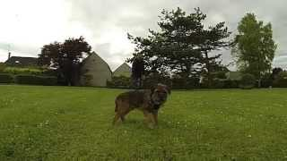 Chewie Le Border Terrier Volant Au Ralenti, The Amazing Flying Border Terrier In Slow Motion. 2013
