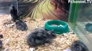 Hamster Does Backflips