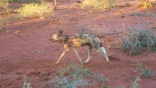 Painted Dogs in Madikwe, July 2016