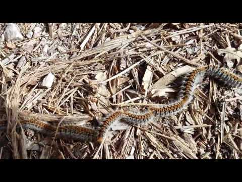 Amazing Caterpillar Video - Over 100 Hundred of them in one Long Chain