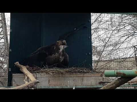 Cinereous vultures mating