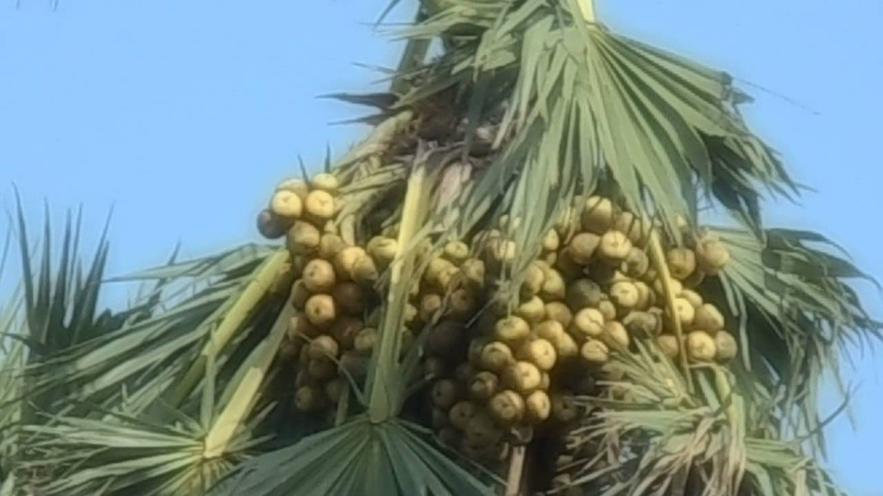 a Sugar Palm tree with full of Sugar Fruits - YouTube