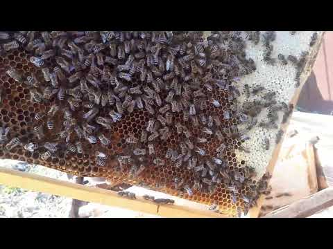 Пересаживаю рой пчел из ловушки