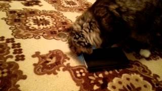 Реакция кошки на мяуканье в телефоне!