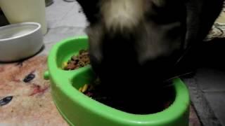 Кошка-экскаваторщик Cat gnawing a food plate