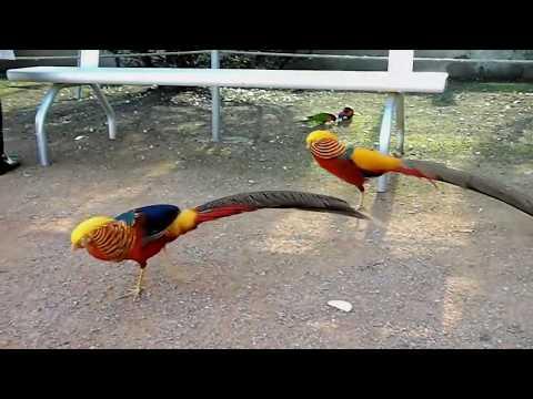 Beautiful Golden Pheasant | Exotic Chinese Golden Pheasant | Beautiful birds In The World