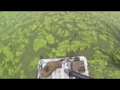 How to remove algae from a pond easily and without chemicals