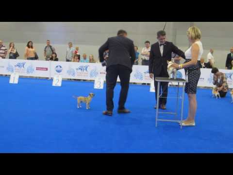 WORLD DOG SHOW 2016 Chihuahuas smooth coat. Best of breed competition