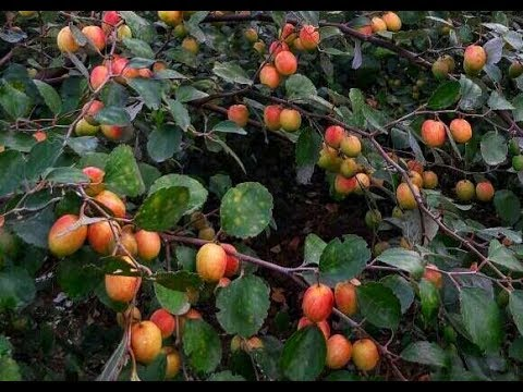 Red Apple Ber cultivation in successfully.Apple Ber Nursery . Contect/WhatsApp No.08514981670