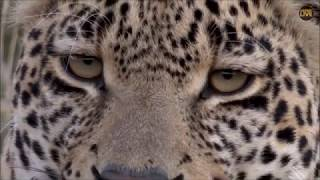 Safari Live : Hosana Male Leopard on drive this afternoon evening with Brent  May 05, 2018