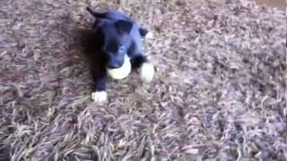 New Puppy, Borador, Labrador Border Collie Mix