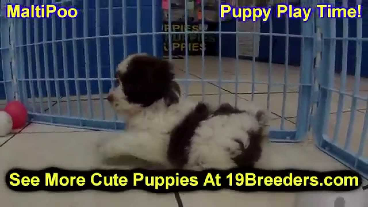 Malti Poo Puppies Dogs For Sale In Montgomery Alabama Al
