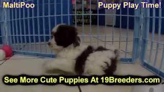 Maltipoo, Puppies,for,sale, In,orlando Florida, Fl, Deltona,melbourne,palm Coast,