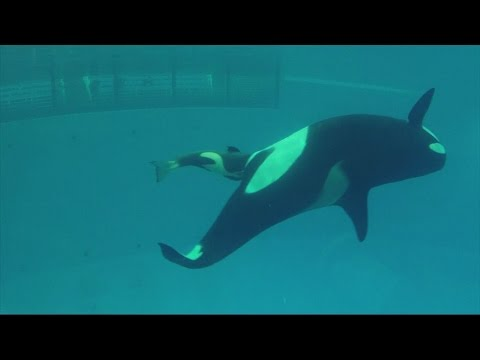 Amazing video captures birth of SeaWorld's last captive orca