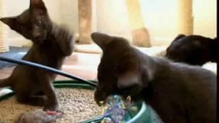 Cats 101: Havana Brown