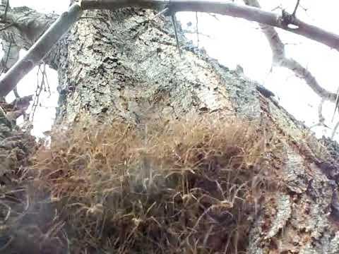 Mass of Daddy Long Legs in a Tree