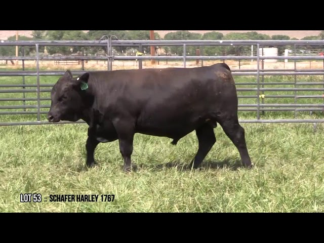 Mid Valley Bull Sale Lot 53