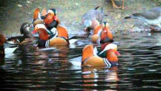 Mandarin Ducks Regent's Park