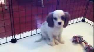 Teacup And Toy Cavalier Puppies In Las Vegas