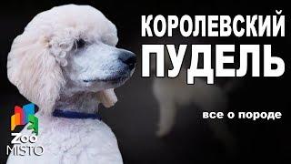 Королевский Пудель - Все о породе собаки | Собака породы - Королевский Пудель