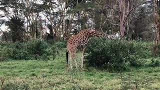 Żyrafa Rothschilda podczas posiłku - Lake Nakuru National Park - Kenia - Afryka