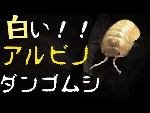 【レア?】アルビノのダンゴムシを手に入れました