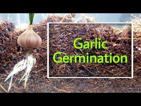 garlic-germination-the-time-lapse-ttl