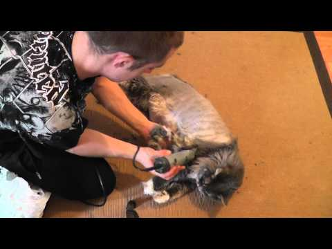 shaving maine coon