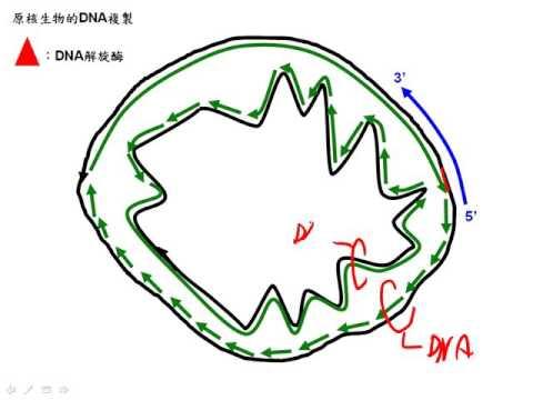 高三選修生物11 3 15原核生物的DNA複製二簡