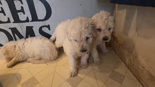 Komondor Puppies Litter B Day 35