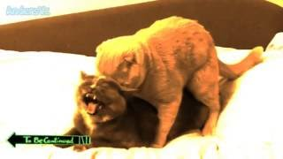 Ridiculous cats mating - T๐ Be Continued