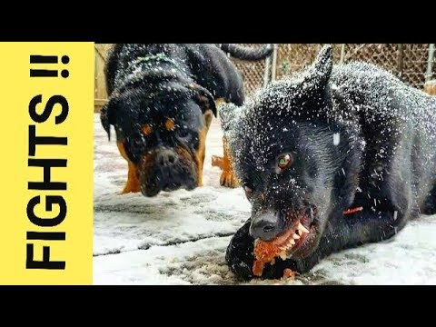 How do I Handle Dog Fights Over RAW Food - Pack Feeding Video (K9 Mukbang/Pack-Bang)