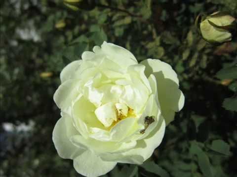 Розы, роза садовая, роза сортовая, роза остина, роза кордес, купить розу в нижнем новгороде. Питомник аллея в нижнем новгороде. ☆ рейтинг: 10/10 ☆ всегда в наличии ☆ бесплатная парковка для клиентов!