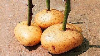 Stecke einen Rosenzweig in eine Kartoffel und sieh was passiert!
