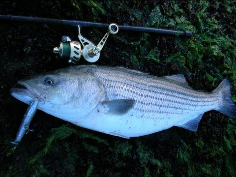 Topwater Striped Bass Fishing With Cordell Pencil Poppers