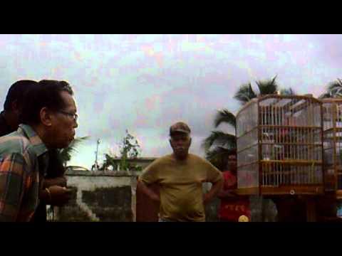 Bull finch Trinidad Bulling Whiteland vs Monster.mp4