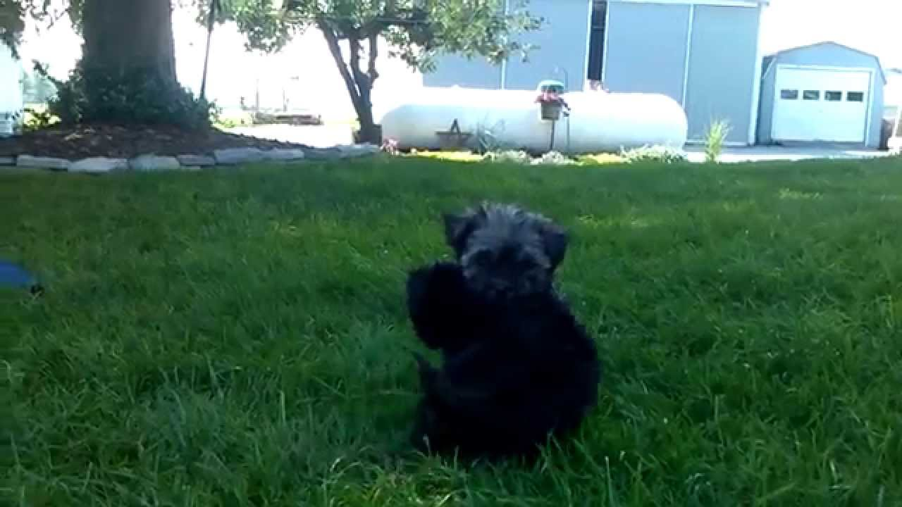 Havanese Puppies For Sale Keystonepuppies At Gmailcom Youtube