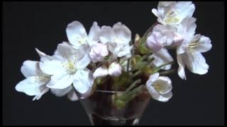 折れた蕾を自宅で開花させました。