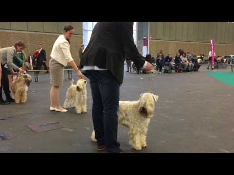 Amsterdam Winner 2016 - Irish Soft Coated Wheaten Terrier