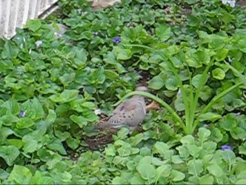 Mourning Doves Eating Seed in Garden