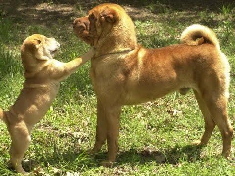 порода собаки шарпей фото