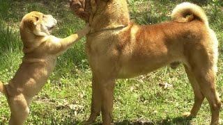 Собаки породы Шар пей!