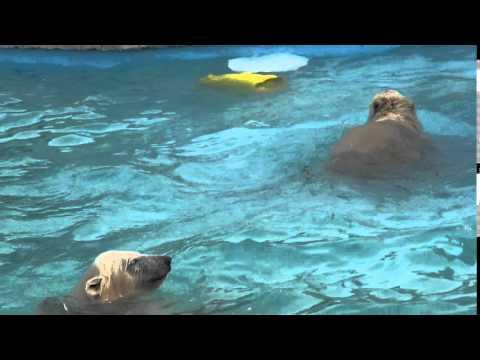 The polar bear twin cubs play in the water(1) at Sapporo Maruyama Zoo, Japan (Jul.6 2013)
