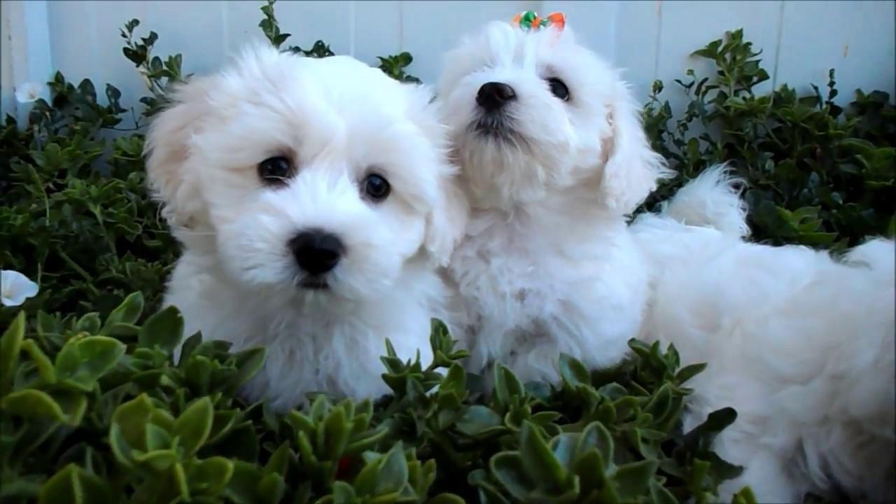 Regalo Cuccioli Di Maltese Toy Vaccinati Youtube